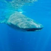 Baleine ou sirène?